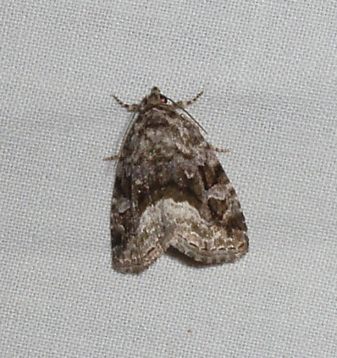 This large mossy glyph was the only representative of its species at my light. It landed on the sheet early in the session, and stayed there until I closed shop.