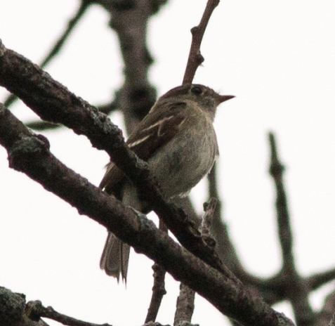 This least flycatcher was calling and foraging on the south end of the savanna ridge on Friday morning.