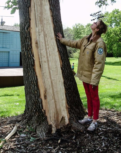 Mayslake's site manager Janneke Waal-Fowers provides some scale as she examines the injured tree.