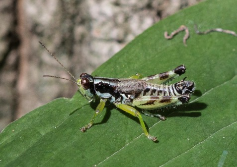 They proved to be greenlegged grasshoppers. Though not in either singing grasshopper subfamily, they were beautifully colored and worth a little effort to photograph and identify. This is a mature male; the crinkly little wings are full sized for the species.