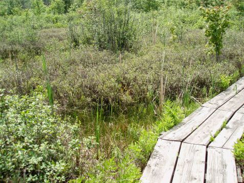 I was not disappointed. A boardwalk winds a good length through a high quality bog.