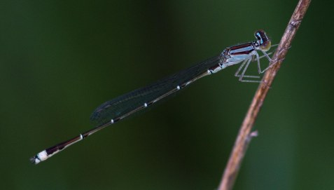 I didn't recognize this damselfly that was hanging out with a group of smaller eastern forktails, and was able to get a photo for identification purposes.