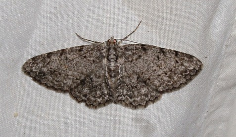 A final example of within-species variation is a moth called the porcelain gray. This was the least worn of four individuals I photographed at the light.