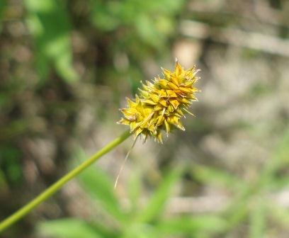 A number of sedges first bloomed in May, including the small yellow fox sedge.