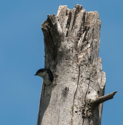 Though most are using the bluebird houses, this pair is nesting more traditionally.
