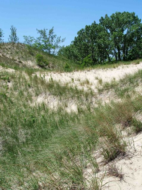 A final stop for the day was Warren Dunes State Park. Spring field crickets were common in the more sheltered spots of the outer dunes.