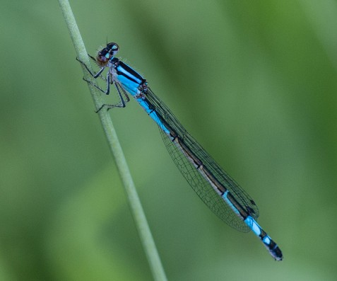 Likewise, this female azure bluet was not the first of her kind I have photographed on the preserve.