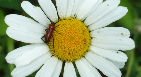 It hasn't been just about moths. Here a Batyle suturalis longhorn beetle visits an ox-eye daisy.