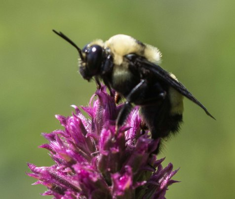 This guy was acting for all the world like a Laphria bumble bee mimic robber fly. It perched on the tip of a Liatris stalk, frequently turning to scan its surroundings, occasionally moving to another stalk.