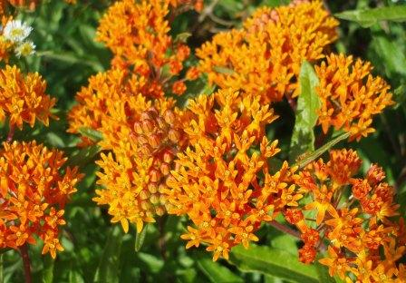 Butterfly weed was among the species that first opened flowers in June.