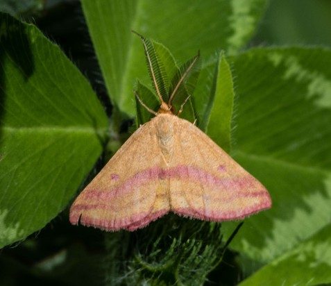 I recognized the chickweed geometer from my preserve monitoring work at Mayslake.
