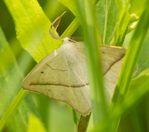 The beauty of moths is more subtle. This one is called the confused eusarca, a member of the inchworm family.