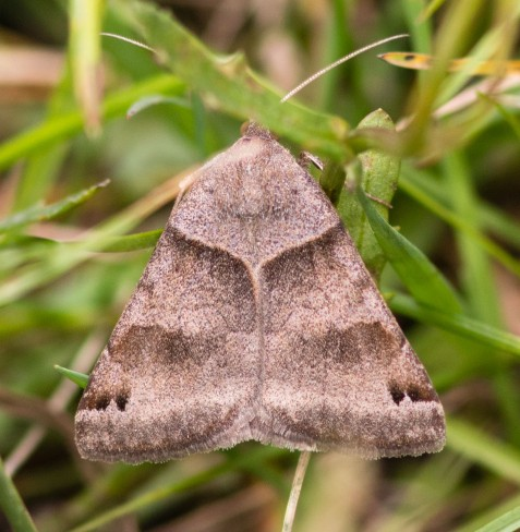 The forage looper, like so many moths, has a subtle beauty that rewards scrutiny.