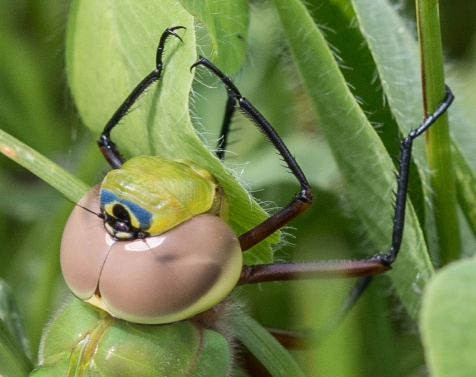 This green darner showed off its bullseye face paint.