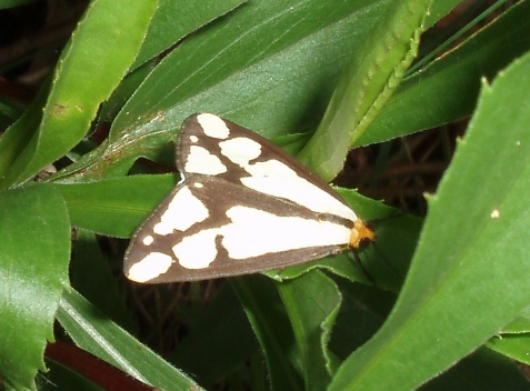This one appears to be a LeConte's haploa. Here the dominant line goes out from the tip of the wing.