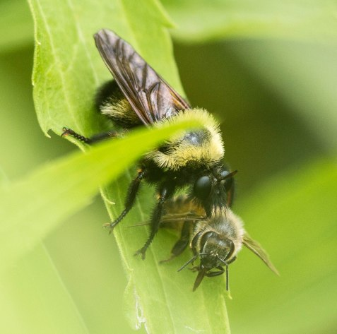 The most dramatic recent insect observation was this Laphria robber fly, with its prey, a honeybee. Laphria are bumblebee mimics.