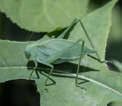 The rattler round-wing katydid usually stays out of sight during the day, but this female perched on her leaf as though basking in the intermittent sun.