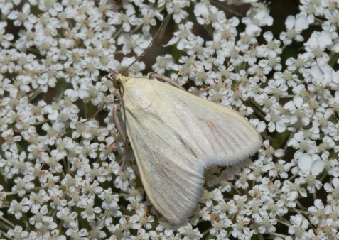 This moth is an example. The Vestal appears to be a simply white geometrid at first glance, but a closer look reveals shadings and highlights of yellow and gold.