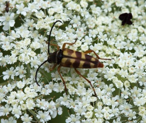 This longhorn beetle, Typocerus velutinus, is an expected visitor to the preserve's flowers this time of year.