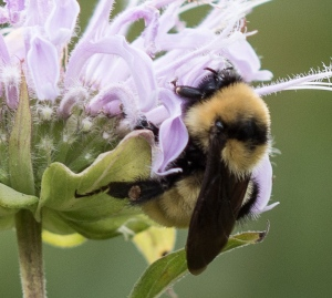 Nearby, this yellow bumble bee Bombus fervidus also worked the wild bergamot.