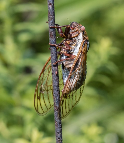 A male bush cicada in full song.