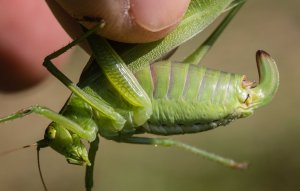 The dark-tipped green ovipositor with this shape and proportions, along with the katydid's overall size and the habitat, permitted the identification.