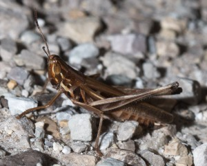 The handsome grasshopper is well named. A spindly little guy, he was rather jumpy after I caught him in the grasses and released him on the gravel parking lot.