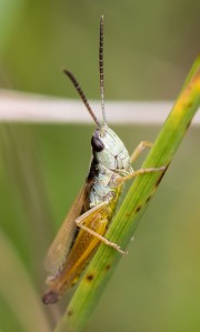 Here is a classic adult marsh meadow grasshopper.