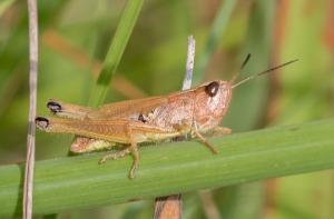 But then there were a number of these. After much study I had to conclude that this, too, was an adult marsh meadow grasshopper.