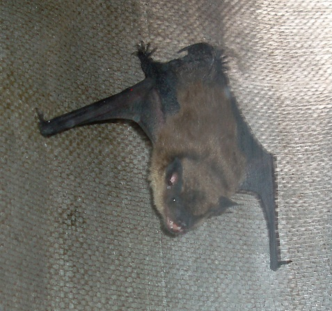 These little critters taught us that bats do not just hang and sleep during the day.