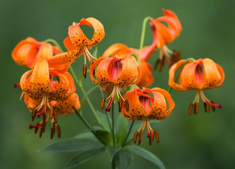 Michigan lily provides one of the preserve's more extravagant floral displays.