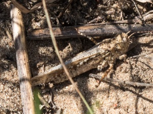 This mottled sand grasshopper at Kankakee Sands was my first for Newton County, Indiana.
