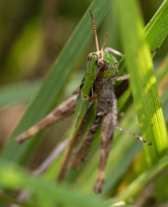 Prize of the day was this critter, the first spotted-wing grasshopper I have seen anywhere.