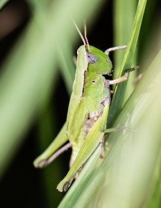 Wetter areas had plenty of short-winged green grasshoppers like this female.