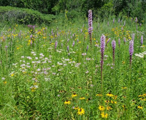 Many of Mayslake's prairie plants first open their flowers in July.
