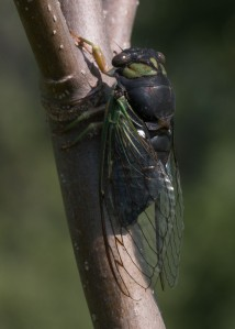 None of our other cicadas matches the swamp cicada's heavy black coloration.