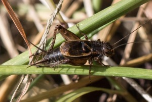 Allard's ground crickets were one of several species at the camp.