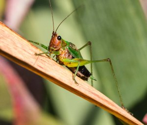 The singers proved to be black-sided meadow katydids.