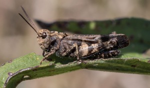 This is a member of the band-winged grasshopper subfamily.