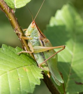 The old field held scattered common meadow katydids.