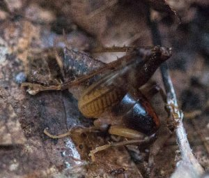 At one point we flushed out a medium-sized cricket which permitted a quick photo but evaded capture. It was one of the camel crickets, probably in genus Ceuthophilus.