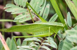 Most were curve-tailed bush katydids.