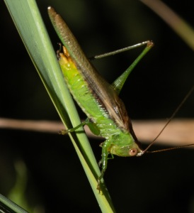 The dusky-faced meadow katydid was a priority species. We were able to observe two males.