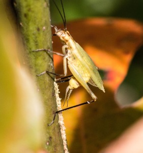 The female arched her body so as to bring her ovipositor in perpendicular to the sassafras stem. The line of eggs was around 3 inches long.
