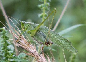 One, slightly smaller, proved to be a male fork-tailed bush katydid.