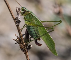 These included the fork-tailed bush katydid.