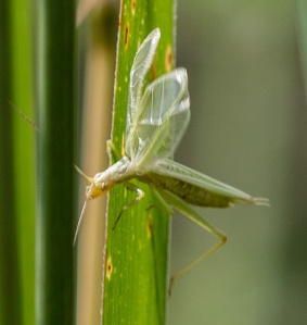 My first four-spotted tree cricket in McHenry was at Pleasant Valley.