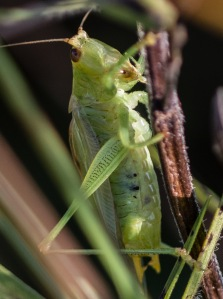 The most unexpected find was a small group of gladiator meadow katydids, still singing weeks after they normally are done.