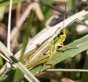 This female marsh meadow grasshopper had an unusually beautiful color pattern, but most of the many individuals of this species had the typical coloration.
