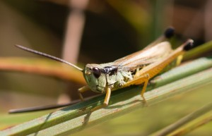 The same site produced this marsh meadow grasshopper.